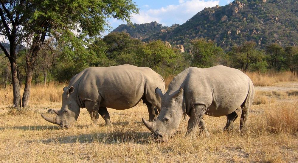 Rhino the big five